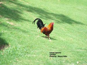 The Kauai Chickens escaped from the farms years ago.  They are doing quite well on their own - Walking Proud and Free.