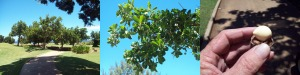 Macadamia Grove