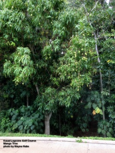 Each Mango tree in the canyon produces hundreds of Mangoes – in contrast, my pampered tree in the back yard has TWO.