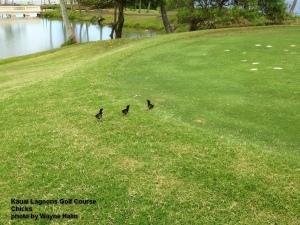 Kauai Chicks