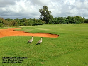 A pair of Nene (Hawaiian geese) waddled out to watch us play through.