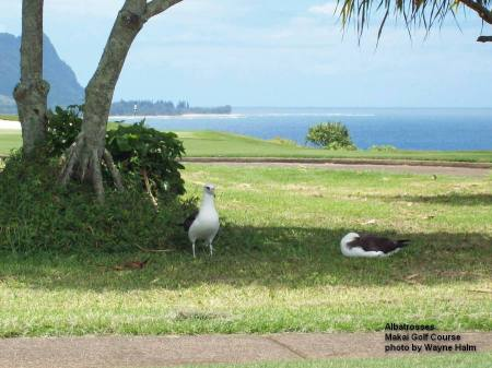 Albatrosses in the Makai Golf Course on Kauai.