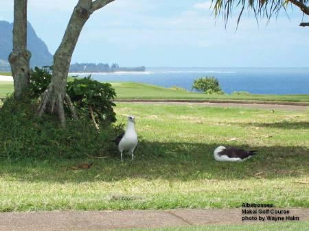 Albatrosses in the Makai Golf Course on Kauai.