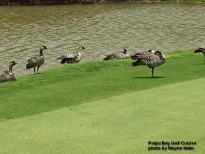 Nene on the Poipu Bay Golf Course on Kauai.